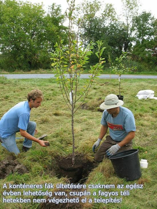 Gyümölcsfa ültetés